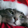 Cat with Santa Hat and text: Dreaming of a White Christmas printable Christmas bookmark